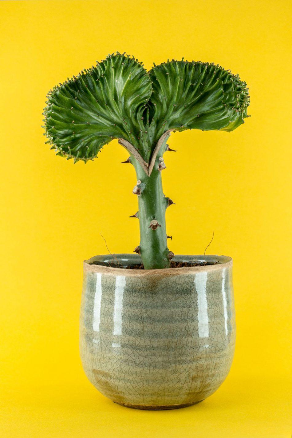 Kleurrijke productfoto van een cactus kamerplant